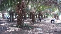 Asisten Kebun Kelapa Sawit pun Harus Lakukan Tes Uji Kompetensi
