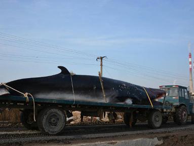 Truk kontainer tampak membawa bangkai ikan paus ke pabrik pembekuan. Paus dengan panjang sekitar 8,9 meter dan berat 3,9 ton ditemukan mati terdampar di pinggiran pantai dekat kota Rizhao, provinsi Shandong, China, 30 November 2015. (shanghaiist.com)