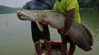 Nelayan menunjukkan ikan arapaima atau Pirarucu yang berhasil ditangkap dari Sungai Amazon di Brasil, 20 September 2017. Ikan yang memiliki tubuh bersisik kasar ini panjangnya dapat mencapai 3 meter dengan berat hingga 200 kilogram. (CARL DE SOUZA/AFP)