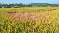 Serangan hama wereng dalam stadium sedang dan berat menyebabkan tanaman padi gosong. (Foto: Liputan6.com/Muhamad Ridlo)