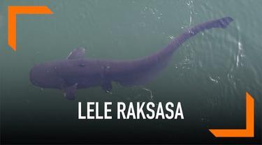 Warganet dihebohkan dengan penampakan video yang menampilkan lele raksasa seberat 100 kg. Beberapa menduga ikan tersebut adalah hasil mutasi.