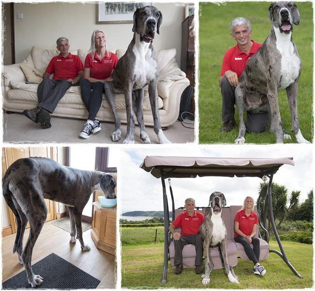 Meski tubuhnya sangat besar dna tinggi, Major adalah anjing yang menggemaskan dan baik | Photo: Copyright asiantown.net