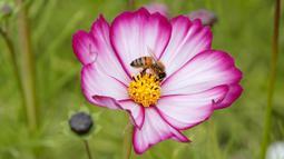 Seekor lebah hinggap di tangkai sari atau filamen bunga cosmos yang sedang mekar di Paju, Korea Selatan pada 14 Oktober 2020. (AP Photo/Lee Jin-man)