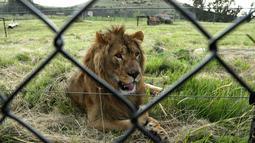 Aktivitas Saeed, singa berusia dua tahun yang berhasil diselamatkan dari Suriah dan dilepaskan ke kandang di Lionsrock Lodge and Big Cat Sanctuary, Bethlehem, Afrika Selatan, Senin (26/2). (AP Photo/Themba Hadebe)