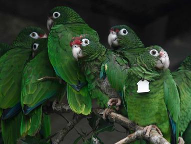 Burung beo Puerto Rico berkumpul di pusat penangkaran di Iguaca Aviary, El Yunque, Puerto Rico, (6/11). Beo Puerto Rico terancam punah setelah lebih dari separuh populasi mereka hilang ketika Badai Maria. (AP Photo/Carlos Giusti)