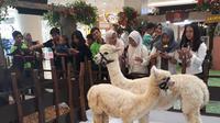 Alpaca, hewan mirip llama yang biasanya hidup di daerah dingin, menyemarakkan liburan Natal dan Tahun Baru di Tangcity Mal, Tangerang. (Liputan6.com/Pramita Tristiawaty)