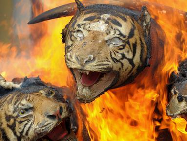 Harimau Sumatera yang diawetkan dibakar oleh Badan Konservasi Alam Aceh (BKSDA) di Aceh (23/5). Kementerian Kehutanan Indonesia memusnahkan barang bukti perdagangan satwa liar sebagai kampanye melawan perburuan Ilegal. (AFP/Chaideer Mahyuddin)