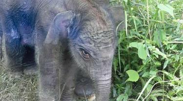 Anak gajah jantan