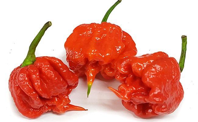 Bahaya makan cabai api, Carolina Reaper/copyright UK Chilli Seeds