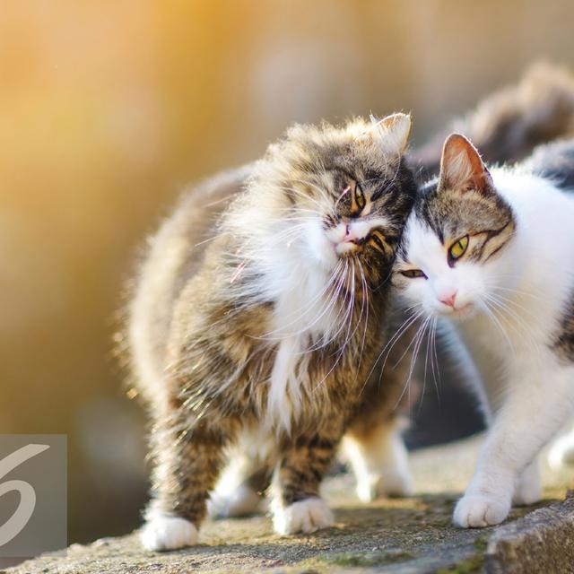 12 Macam Macam Jenis Kucing Berbulu Panjang Lucu Dan Menggemaskan Hot Liputan6 Com