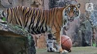 Salah satu Harimau Sumatera yang terpapar COVID-19 di Taman Margasatwa Ragunan (TMR), Jakarta, Minggu (1/8/2021). Kedua Harimau, Hari dan Tino akan memperoleh perawatan intensif hingga dinyatakan sehat secara medis. (merdeka.com/Herman Zakharia)