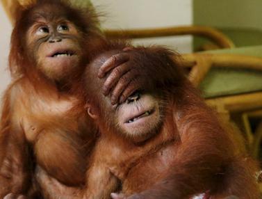 20151019-Malaysia Berhasil selamatkan Kedua Bayi Orangutan Lucu Ini
