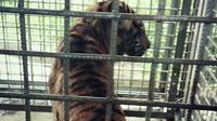 Bonita adalah harimau ketiga di dunia yang jadi objek penelitian terkait perubahan perilaku. (Foto: Dok. BBKSDA Riau/M Syukur)