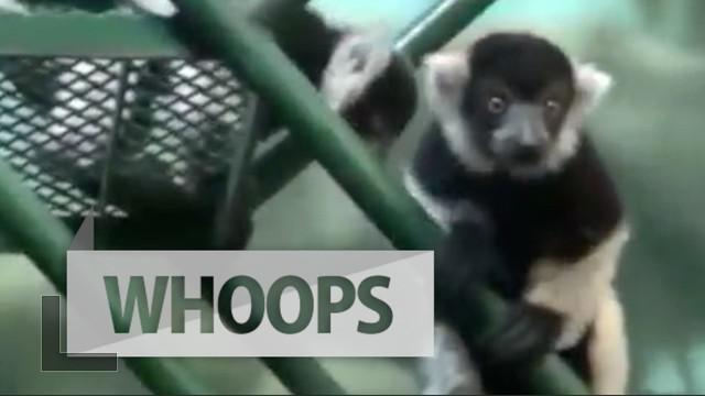 Empat ekor bayi lemur dengan wujud layaknya tokoh King Julien dalam film Madagascar kini menjadi penghuni baru kebun binatang Philadelphia, Amerika Serikat