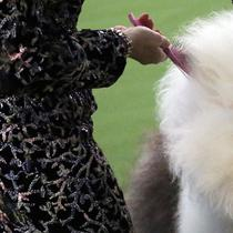 Pemilik menyikat bulu anjing gembala Old English miliknya bernama Let It Go Blu Mtn pada acara Best of Breed selama pertunjukan anjing Westminster Kennel Club di New York, Senin (11/2). (AP Photo/Wong Maye-E)