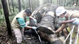 Dokter hewan melakukan pembedahan atau nekropsi pada gajah Sumatera yang ditemukan mati mengenaskan di Bengkalis, Riau (20/11/2019). Hasil pemeriksaan, petugas menemukan bekas potongan pada tulang tempat gading menyatu. (Indonesian Natural Resourches Co/AFP)