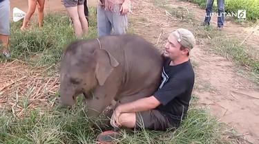 Seekor gajah bertindak manja saat bertemu wisatawan yang baru ditemuinya. Aksi lucu tersebut terjadi di sebuah taman wisata di Thailand.