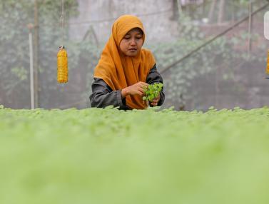 Selama pandemi Covid-19 permintaan sayur hidroponik jenis bayam meningkat di Serua Farm, Depok.