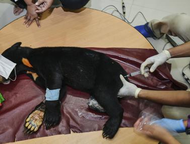 Terkena Jerat Babi, Beruang Madu di Aceh Diamputasi