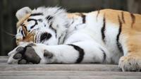 ilustrasi harimau (Unsplash)