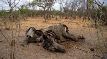 Bangkai gajah yang mati karena kekeringan tergeletak di Taman Nasional Hwange, Zimbabwe, Selasa (12/11/2019). Lebih dari 200 gajah di Taman Nasional Hwange mati akibat kekeringan. (ZINYANGE AUNTONY/AFP)