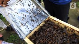 Anggota Kelompok Tani Hutan Hijau Lestari membuka sarang lebah madu jenis Trigona di kawasan Hutan Kota Srengseng, Kembangan, Jakarta Barat, Sabtu (5/6/2021). Lebah-lebah ini didatangkan dari Banten, Ponorogo, Lampung serta Bengkulu. (Liputan6.com/Johan Tallo)