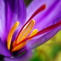Bunga Saffron (Foto: Unsplash)