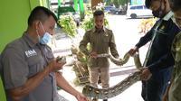 Ular piton yang ditangkap personel pemadam kebakaran Kota Kendari, dilepas ke alam liar, Kamis (20/5/2021).(Liputan6.com/Ahmad Akbar Fua)