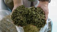 Peneliti menunjukkan daun ketepeng yang telah kering untuk obat herbal penghambat virus Covid-19 di Pusat Penelitian Kimia LIPI Puspitek, Serpong, Tangerang Selatan Jumat (8/5/2020). Peneliti LIPI melakukan uji Lab pada tahap penelitian anti viral untuk pasien Covid-19. (Liputan6.com/Fery Pradolo)