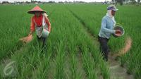 Petani memupuk tanaman padi di Karawang, Jawa Barat, Senin (4/7). Untuk mencapai target swasembada pangan 2016, pemerintah telah mengalokasikan anggaran sebesar Rp 20 triliun. (Liputan6.com/Gempur M Surya)