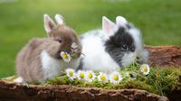 Ilustrasi kelinci (Sumber: Pixabay)