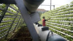 Warga menanam bayam hijau dalam pipa PVC atau sistem hidroponik di Kompleks Gudang PT NBA, Serua, Bojongsari, Depok, Jawa Barat, Jumat (10/7/2020). Dengan lahan sempit, bercocok tanam dengan sistem hidroponik banyak dipilih masyarakat perkotaan untuk mengusir kejenuhan. (merdeka.com/Dwi Narwoko)
