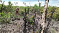 Salah satu lahan warga yang terbakar saat bencana kebakaran hutan dan lahan (karhutla) di Sumsel (Liputan6.com / Nefri Inge)