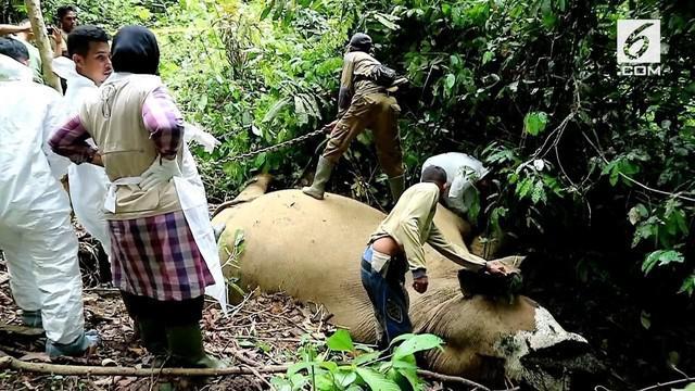 BKSDA Aceh melakukan olah TKP matinya seekor gajah yang diduga karena menelan racun.