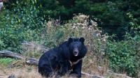Beruang Hitam Asia (Ficklr/Wikipedia)