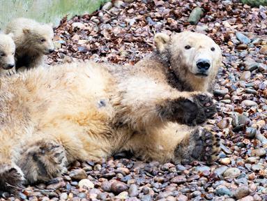"""Dua anak beruang kutub bersembunyi di belakang sang induk """"Malik"""" selama tamasya pertama mereka di Kebun Binatang Aalborg, Denmark, 4 Maret 2020. Kebun Binatang ini membiarkan penghuni baru tersebut melakukan langkah pertamanya di dunia luar. (Henning Bagger/Ritzau Scanpix/AFP)"""