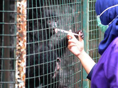 Dokter hewan yang juga aktivis Animal Sanctuary Trust Indonesia (ASTI)  memberi vitamin ke Siamang (Symphalangus syndactylus) yang merupakan hasil sitaan dari warga di tempat Pusat Transit Satwa Gadog ASTi, Bogor, Senin (11/3). (merdeka.com/arie basuki)