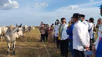 Peternakan Sukamara Ranch merupakan bagian dari program lumbung pangan nasional yang digagas pemerintah Jokowi. (Liputan6.com/Roni Sahala)