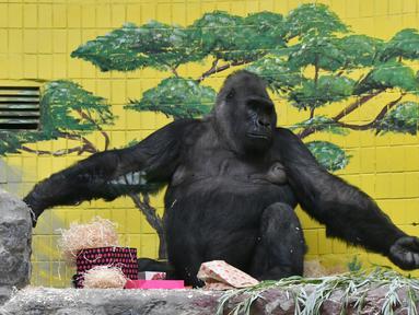 Gorila bernama Tony memeriksa kotak hadiah di kebun binatang Kiev, Ukraina (8/8/2019). Di ulang tahunnya yang ke-45, Tony mendapatkan banyak hadiah dari pihak kebun binatang dan pengunjung. (AFP Photo/Genya Savilov)