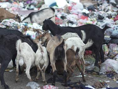 Tak Ada Rumput, Hewan Ternak Ini Makan Sampah