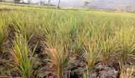 Sejumlah lahan pertanian mengalami puso alias gagal panen akibat kemarau penjang (Liputan6.com/Jayadi Supriadin)