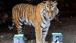 Bartek, harimau Amur Jantan berdiri diantara kotak bergambar kandidat presiden Volodymyr Zelenskiy dan Petro Poroshenko, saat akan memprediksi pemenang pada pemilu presiden Ukraina mendatang di kebun binatang Royev Ruchey di Krasnoyarsk, Rusia (15/4). (Reuters/Ilya Naymushin)