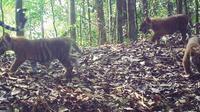 Anak-anak harimau terekam kamera