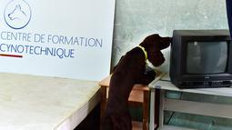 Seekor anjing bernama Nova mengendus lokasi sarang kutu busuk selama pelatihan di bekas kompleks militer di Magnac-Laval, Prancis, 15 Juli 2019. Anjing jantan berusia 15 bulan ini dapat mendeteksi sarang kutu busuk dengan cepat untuk dilakukan proses disinfeksi. (GEORGES GOBET / AFP)