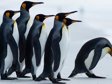 Beberapa penguin King terlihat di Volunteer Point, Kepulauan Falkland (Malvinas), Stanley, Inggris, 6 Oktober 2019. Di wilayah Inggris di Samudra Atlantik Selatan tersebut terdapat penguin jenis King, Rockhopper, Gentoo, Magellanic, dan Macaroni. (Pablo PORCIUNCULA BRUNE/AFP)
