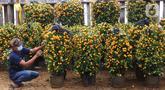 Pekerja merawat pohon jeruk Kim Kit yang dijual di Meruya, Jakarta Barat, Minggu (24/1/2021). Jelang perayaan imlek pemesanan pohon jeruk kim kit atau yang dikenal jeruk Imlek mengalami peningkatan. (Liputan6.com/Angga Yuniar)