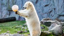 "Beruang kutub ""Nanook"" bermain dengan bola saat merayakan ulang tahun pertamanya di kebun binatang di Gelsenkirchen, Jerman barat (4/12). (AFP Photo/dpa/Marcel Kusch)"