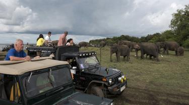 Wisatawan melihat melihat kawanan gajah Asia di Taman Nasional Minneriya di Sri Lanka tengah utara (17/5). Taman ini merupakan tempat wisata yang populer untuk melihat gajah liar Asia berkumpul di lahan terbuka. (AFP Photo/Alex Ogle)