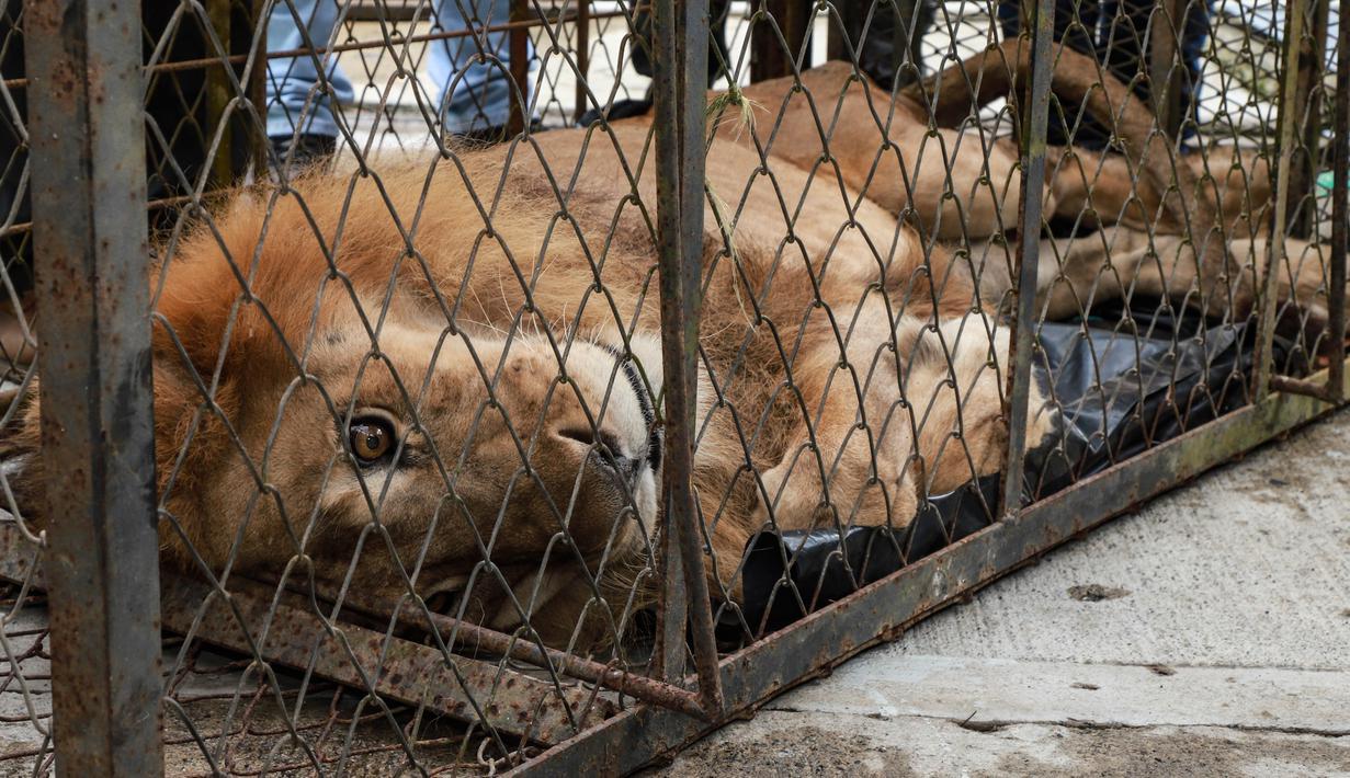Petugas membawa Jupiter, singa yang mengalami kekurangan gizi, setibanya di kebun binatang di Cali, Kolombia, Kamis (27/2/2020).Singa jantan itu telah dipindahkan dari Buenavista menuju Cali untuk upaya menyelamatkannya dari kematian.  (Guillermo Gutiérrez/Alcaldia de Cali/Cali Mayor's Office/AFP)