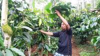 Menyambut pagi dengan memetik kopi Robusta Gondo Arum yang kini kondang seantero negeri. (Foto: Liputan6.com/Muhamad Ridlo)